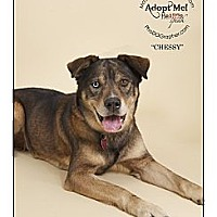 Adopt A Pet :: Chessy - Louisville, KY