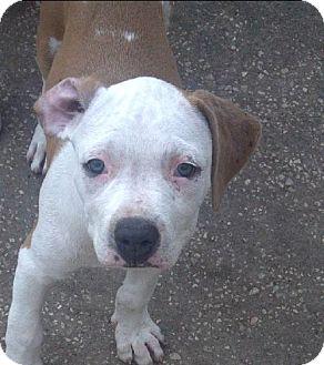 American Bulldog Mix Puppy for adoption in New Smyrna beach, Florida - Fawn
