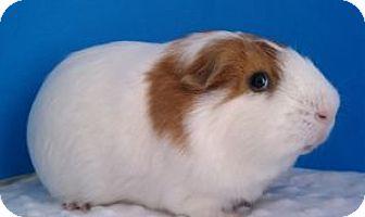 Guinea Pig for adoption in Aurora, Colorado - Kenny