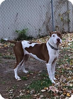 Pit Bull Terrier/American Staffordshire Terrier Mix Dog for adoption in Eastpointe, Michigan - Wilson