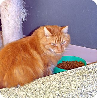 Domestic Longhair Cat for adoption in West Hartford, Connecticut - Marmaduke