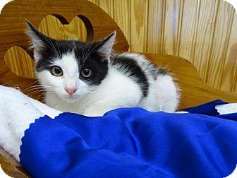 Manx Kitten for adoption in Port St. Joe, Florida - Filbert