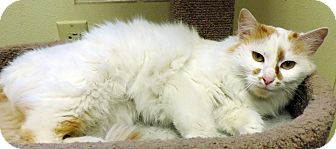 Domestic Mediumhair Cat for adoption in Fremont, Nebraska - Sophia