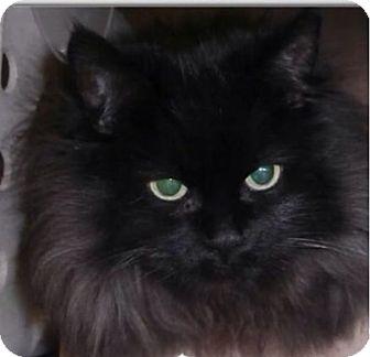 Persian Cat for adoption in Santa Clarita, California - Sarah