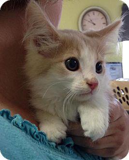 Domestic Mediumhair Kitten for adoption in Newburgh, Indiana - Ollie