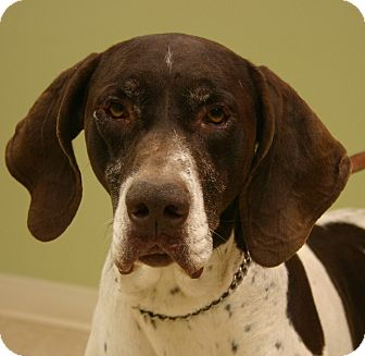 German Shorthaired Pointer Dog for adoption in Hastings, Nebraska - Saul