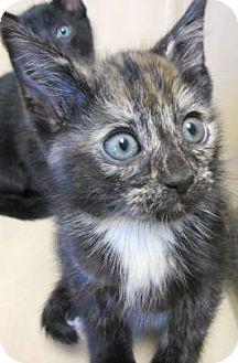 Calico Kitten for adoption in Lincolnton, North Carolina - Princess Peach