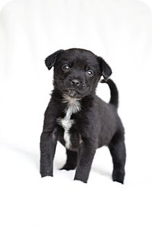 Border Collie Mix Puppy for adoption in Vancouver, British Columbia - Daisy
