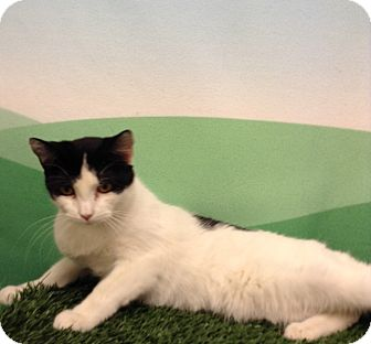 Domestic Shorthair Cat for adoption in Lebanon, Missouri - M.J.