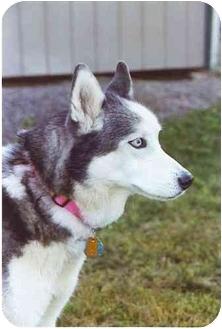 Siberian Husky Dog for adoption in Boyertown, Pennsylvania - Kiki