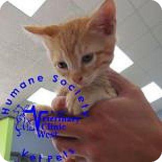 Domestic Shorthair Kitten for adoption in Janesville, Wisconsin - Little Boy Blue