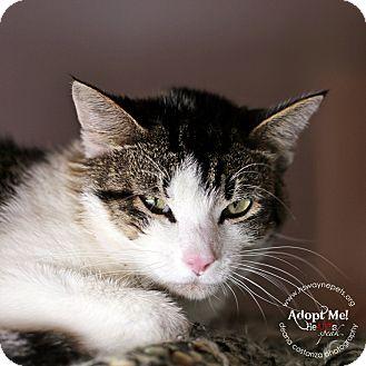 Domestic Shorthair Cat for adoption in Lyons, New York - Wyatt