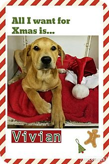 Labrador Retriever Mix Puppy for adoption in Manchester, Connecticut - Vivian IN ct