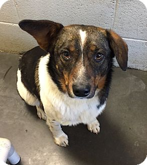 Australian Shepherd/Beagle Mix Dog for adoption in Franklin, North Carolina - Scout