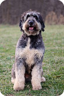 Portuguese Water Dog Mix Dog for adoption in Waldorf, Maryland - Cooper