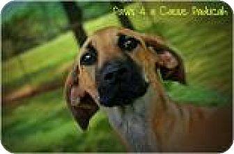 Great Dane Mix Dog for adoption in Paducah, Kentucky - Wednesday