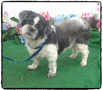 Shih Tzu Mix Dog for adoption in Marietta, Georgia - PUP PUP (R)