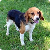 Adopt A Pet :: SHIRLEY - Brattleboro, VT
