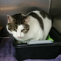Domestic Shorthair Cat for adoption in Chippewa Falls, Wisconsin - Katie
