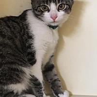 Adopt A Pet :: Cooper Kitten At The Blue Dog Pet Store - Harrisburg, PA
