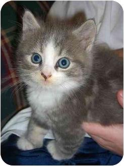 Domestic Mediumhair Kitten for adoption in Rockville, Maryland - Tadpole