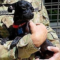 Adopt A Pet :: Elvira - Houston, TX