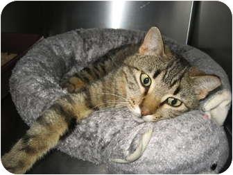 American Bobtail Cat for adoption in Columbia, Illinois - Carlo