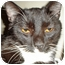 Photo 1 - Domestic Shorthair Cat for adoption in Mesquite, Texas - Pumpkin Head