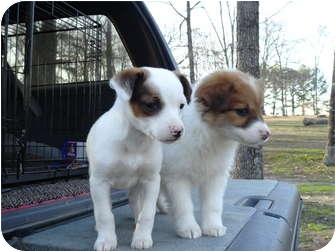 Feist Mix Puppy for adoption in Hartford, Connecticut - Audrey