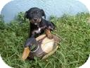 Terrier (Unknown Type, Small) Mix Puppy for adoption in Las Vegas, Nevada - Lexie's Leanne-N***