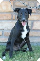 Cattle Dog/Catahoula Leopard Dog Mix Dog for adoption in justin, Texas - Bear Bear