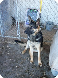 German Shepherd Dog Dog for adoption in Greeneville, Tennessee - Enya
