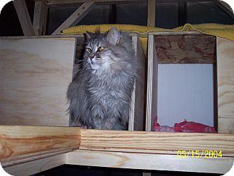 Domestic Longhair Cat for adoption in Cardwell, Montana - Jasmine