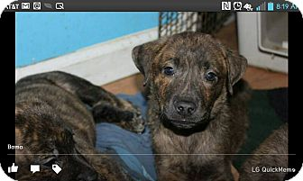 Plott Hound/Boxer Mix Puppy for adoption in North Brunswick, New Jersey - Bama