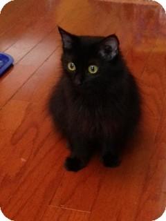 Domestic Longhair Cat for adoption in Huntsville, Alabama - Raven Leigh