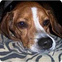 Adopt A Pet :: Deucy - Phoenix, AZ