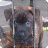 Adopt A Pet :: Mr White - resevoir dog litter - Phoenix, AZ