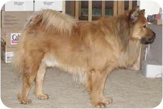 Chow Chow/Golden Retriever Mix Dog for adoption in Auburn, California - Kimo