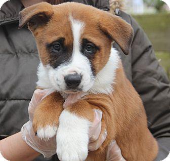 St. Bernard/Akita Mix Puppy for adoption in Minnetonka, Minnesota - BOSS - gorgeous