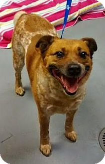 Australian Cattle Dog Mix Dog for adoption in Adrian, Michigan - Penny