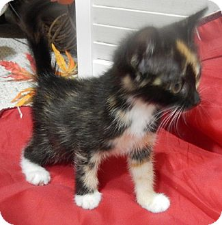 Calico Kitten for adoption in Savannah, Georgia - Suzanne Sugarbaker