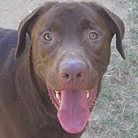 Labrador Retriever Mix Dog for adoption in Cross Roads, Texas - Magnum