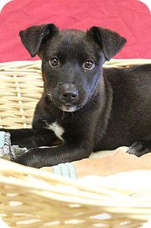 Labrador Retriever Mix Puppy for adoption in Waldorf, Maryland - Seth