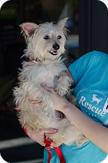 Terrier (Unknown Type, Small)/Silky Terrier Mix Dog for adoption in Encino, California - Rocco