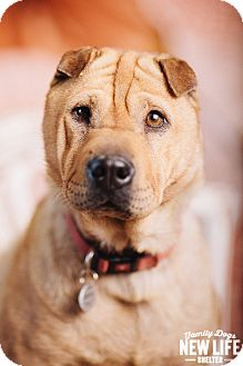 Shar Pei Dog for adoption in Portland, Oregon - Honey