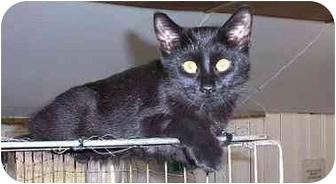 Domestic Shorthair Cat for adoption in Pickering, Ontario - Audi