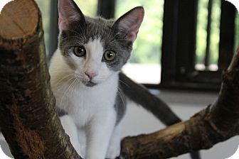 Domestic Shorthair Kitten for adoption in Battle Creek, Michigan - Britan