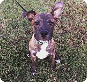 Boxer/American Staffordshire Terrier Mix Puppy for adoption in Greenfield, Wisconsin - Nero