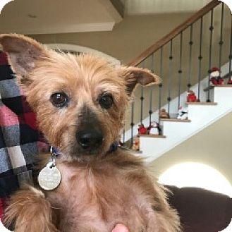 Yorkie, Yorkshire Terrier Mix Dog for adoption in Huntsville, Alabama - Whiskey