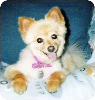 Pomeranian Mix Dog for adoption in Spring Valley, California - Nami